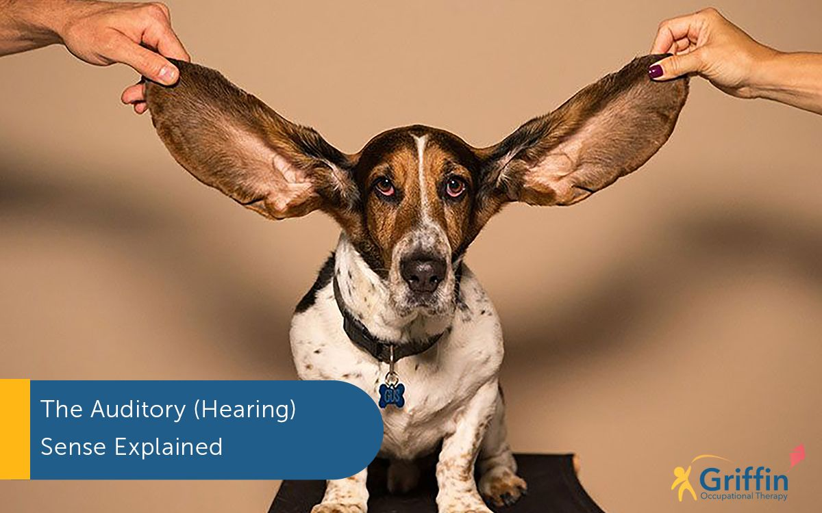 dog with large ears text the auditory system listening auditory sense