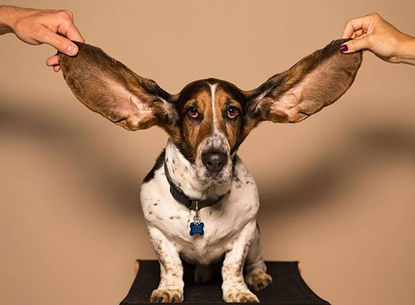 dog with large ears being pulled out to side