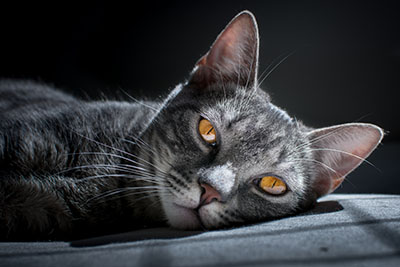 hearing sense cat listening
